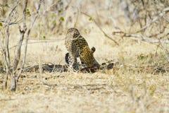 African leopard ( Panthera pardus pardus ) Royalty Free Stock Photos