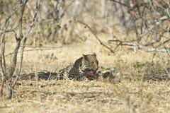 African leopard ( Panthera pardus pardus ) Stock Photography