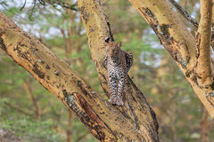 African Leopard (Panthera Pardus Pardus) resting on a tree branch, Africa Royalty Free Stock Photo