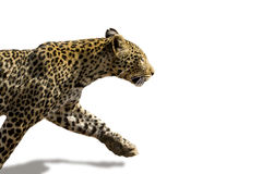 African leopard ( Panthera pardus pardus ). An African leopard (Panthera pardus pardus) stalking. Isolated, clear cut on white background Stock Photo