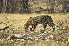 African leopard ( Panthera pardus pardus ) Royalty Free Stock Images