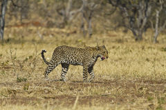African leopard ( Panthera pardus pardus ). An African leopard (Panthera pardus pardus) walking in dry grass and trees in Chobe National Park, Botswana Stock Photo