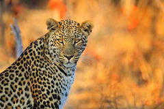 African Leopard, Panthera pardus shortidgei, Hwange National Park, Zimbabwe, portrait portrait eye to eye with nice orange backrou Royalty Free Stock Photos