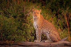 African Leopard, Panthera pardus shortidgei, Hwange National Park, Zimbabwe. Wild cat Hidden portrait in the nice forest tree trun. African Leopard, Panthera Royalty Free Stock Photo