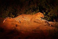 African Leopard sunset, Panthera pardus shortidgei, Hwange National Park, Zimbabwe. Wild cat hidden in nice forest tree trunk. Big. African Leopard, Panthera Royalty Free Stock Photos