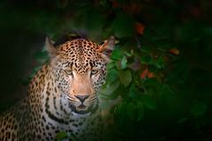 African Leopard, Panthera pardus shortidgei, Kruger National Park, South Africa. Wild cat hidden portrait in the nice forest tree. Vegetation. Big leopard in Royalty Free Stock Images