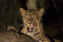 African Leopard (Panthera pardus) South Africa. A male African Leopard in the tree yawning in South Africa's Mala Mala Private Game Reserve stock photos