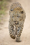 African Leopard (Panthera pardus) South Africa Stock Images