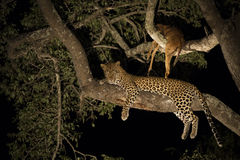 African Leopard (Panthera pardus) South Africa Royalty Free Stock Photos