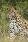 African Leopard (Panthera pardus) South Africa Stock Photo