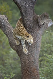 African Leopard (Panthera pardus) in tree South Africa Royalty Free Stock Images