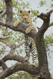 African Leopard (Panthera pardus) in tree South Africa Stock Image