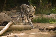 African Leopard Royalty Free Stock Photography