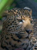 African Leopard Portrait royalty free stock images