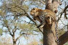 African Leopard. Portrait shot of a African Leopard in a tree Royalty Free Stock Photos