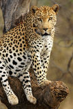 African Leopard Royalty Free Stock Image