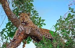 African Leopard resting and looking directly into camera in South Luangwa National Park, Zambia. Alert looking male african leopard panthera pardus relaxing in a Royalty Free Stock Photos
