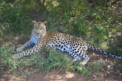 African Leopard. Leopard resting in the shade Stock Photos