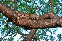 African leopard resting in tree Stock Image