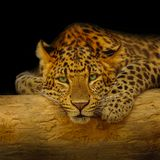 African leopard resting at a tree in darkness Stock Photo