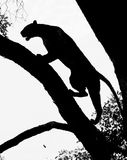 Silhouette of an african leopard climbing a tree in south luangwa Royalty Free Stock Photo