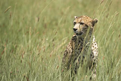 African Leopard Sitting in Grass Stock Photography