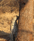 African leopard sitting next to tree Royalty Free Stock Photography