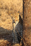 African leopard sitting next to tree Royalty Free Stock Images
