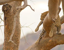 African Leopard sleeping on a branch Stock Images