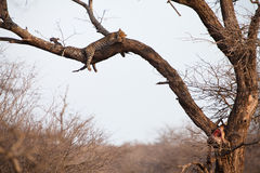 African leopard sleeping in a tree Stock Photography