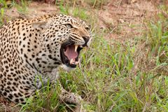 African leopard snarling Royalty Free Stock Photos