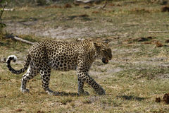 Snarling African Leopard. Solitary creatures, leopards can be very difficult to spot Stock Images