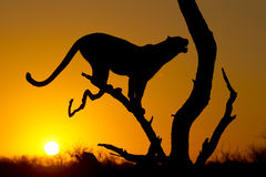 African Leopard, South Africa. African Leopard (Panthera pardus) at sunrise, in Silhouette, South Africa Stock Images