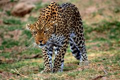 African Leopard stalking Royalty Free Stock Photos