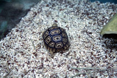 African Leopard Tortoise Stock Photo