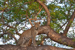 African leopard in tree Stock Photos