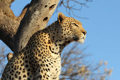 African leopard in tree Royalty Free Stock Images