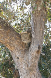 African leopard in tree Stock Image
