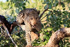 African Leopard in a tree looking directly at camera snarling - south luangwa national park, zambia. Panthera Pardus African Leopard, looking directly into stock images