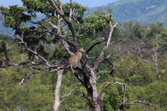 African leopard in a tree looking at the dove Royalty Free Stock Images