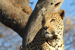 African leopard in tree looking to right Stock Photo