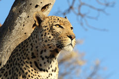 African leopard in tree looking to right Stock Images