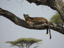 African Leopard in tree in Serengeti National Park, Tanzania royalty free stock image