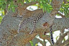 African Leopard Tree time Royalty Free Stock Photos
