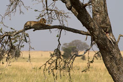An African leopard in a tree, watching her young feed Stock Image