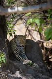 African Leopard waiting in shade Stock Photography