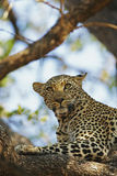 African Leopard watchful on pray in tree. Leopard laying in tree with watchful eyes on prey Royalty Free Stock Photography