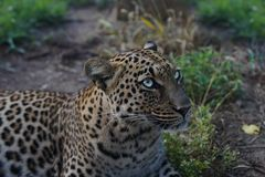African leopard in the wild royalty free stock photography