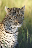 The african leopard. Young female african leopard Panthera pardus with a bone in its mouth in the savanna.Portrait of leopard stock images