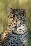 The african leopard. Young female african leopard Panthera pardus in the savanna.Portrait of leopard royalty free stock photos